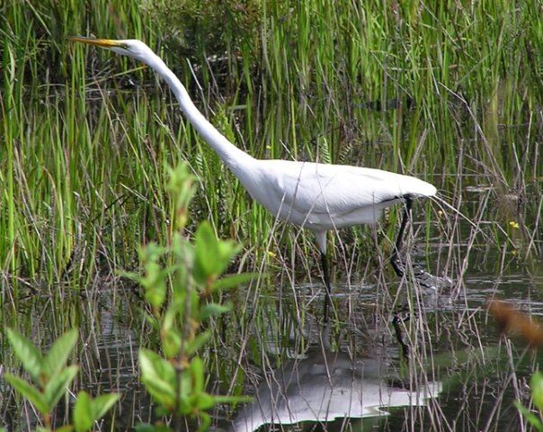 Large White Egret