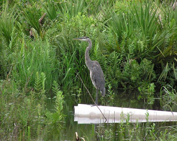Great Blue Heron On Pipe