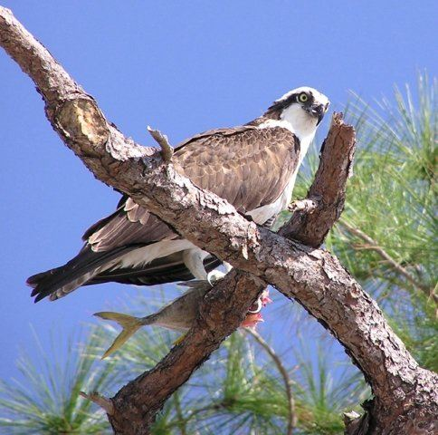 Frazier Creek Osprey with Fish